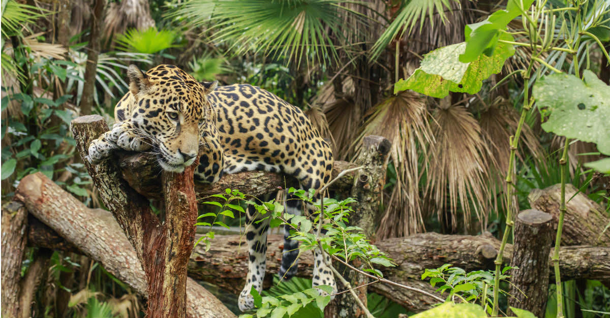 The jaguar sanctuary allows for a look at the creatures in their native habitat.