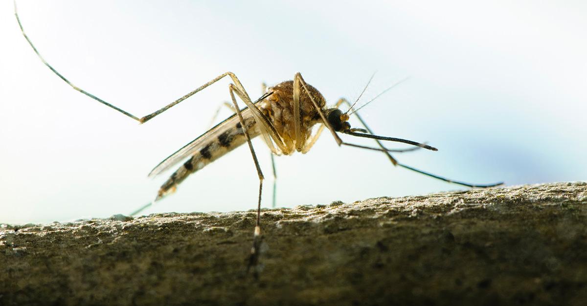 La dengue est une maladie fréquente chez les voyageurs.