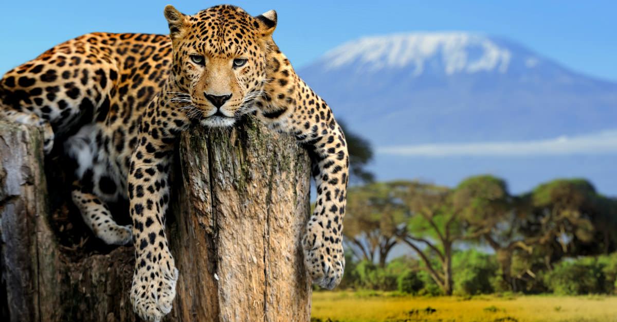 Les prédateurs rares vivent sous la vue d'une des montagnes les plus célèbres du monde.