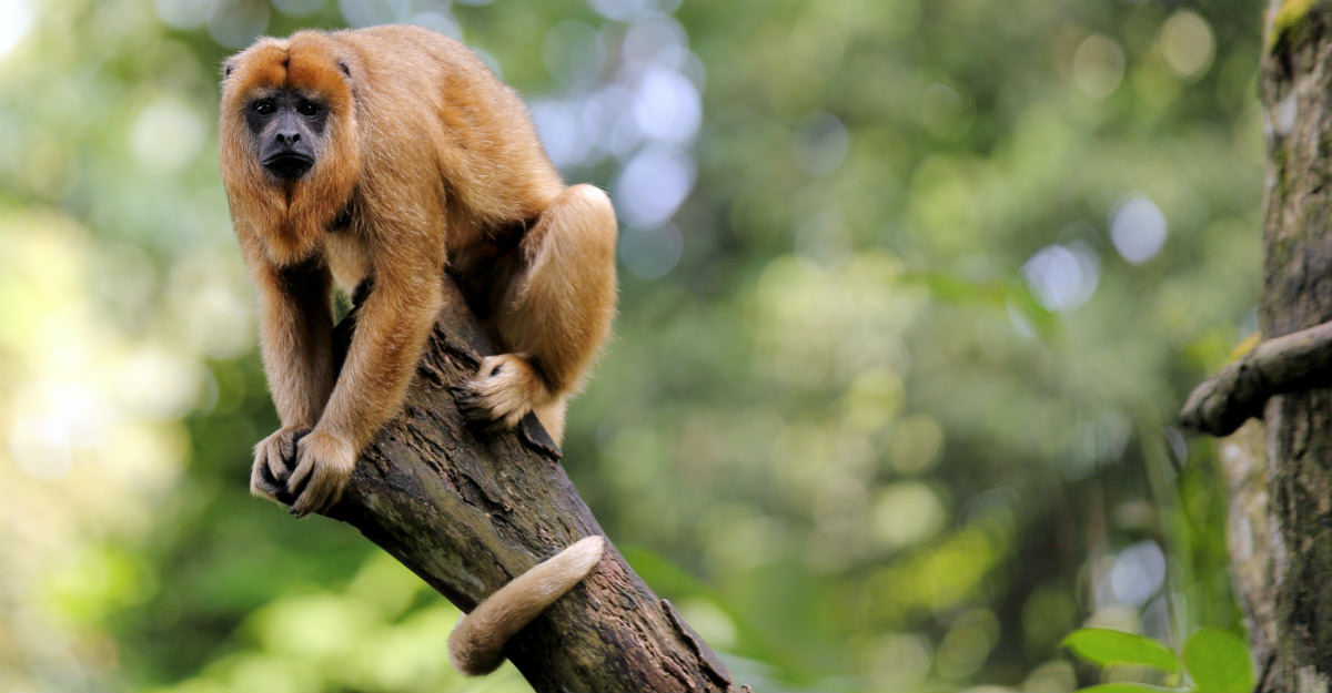 Howler monkeys started dying throughout the rain forest, a sign of yellow fever problems to come.