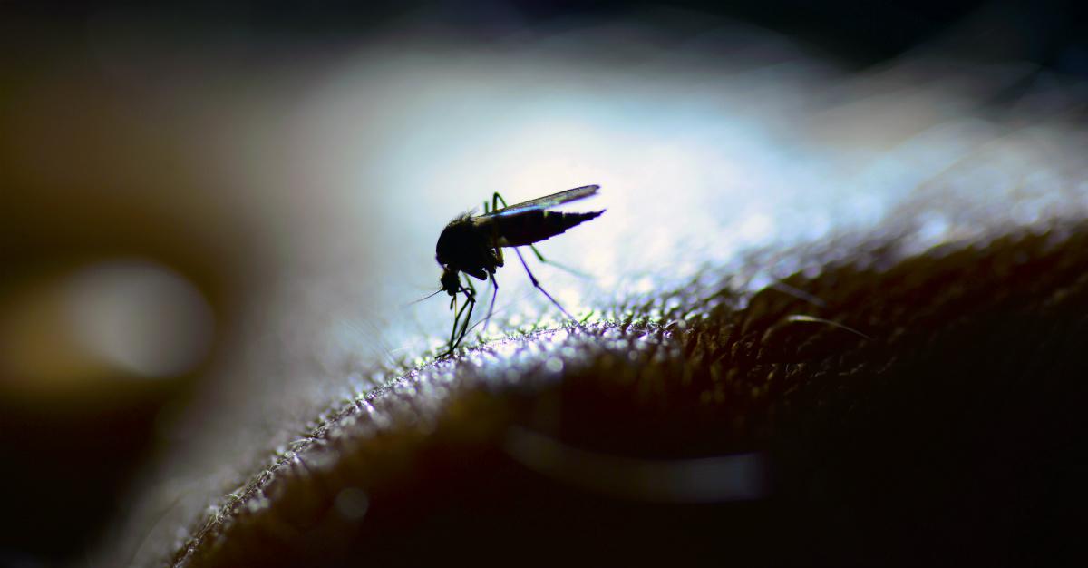 Ces insectes sont responsables de plusieurs des maladies les plus mortelles du monde.