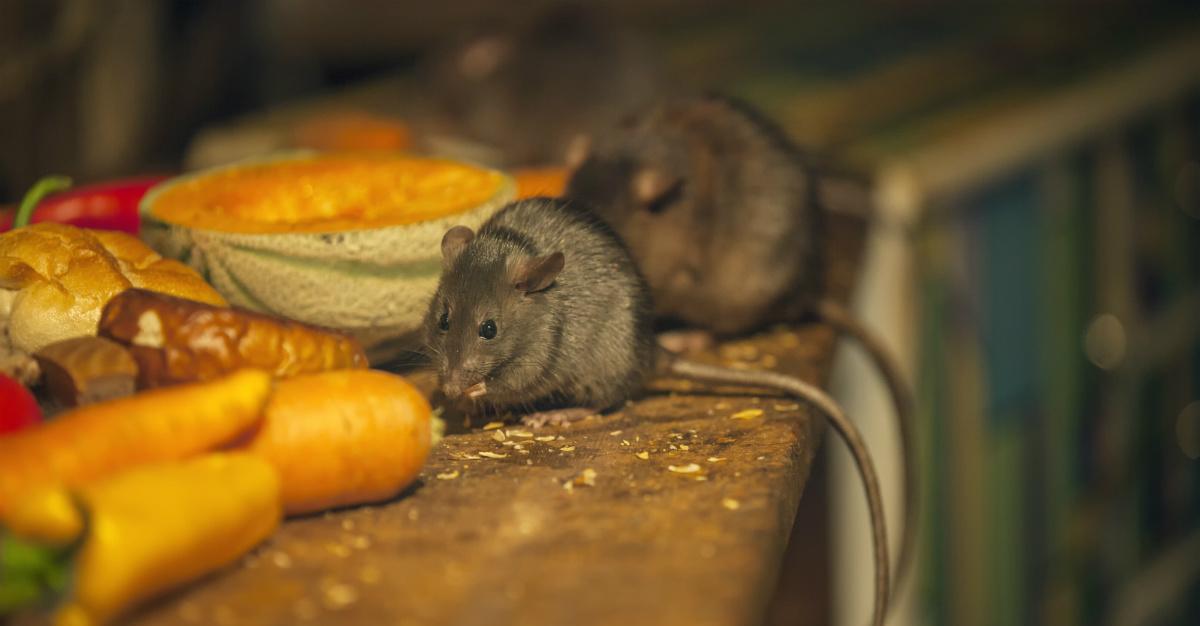 Les rats reçoivent la plus grande partie du blâme, mais les puces ont elles aussi grandement contribué à la pandémie catastrophique.
