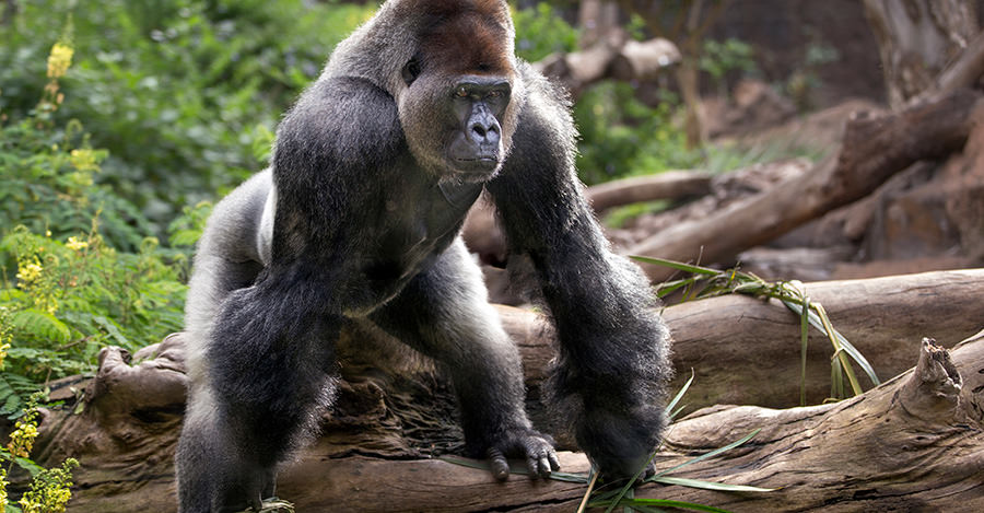 Gorillas are just some of the animals you will see in beautiful CAR.