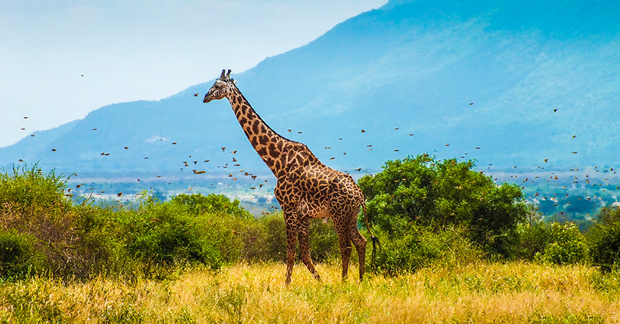 Giraffes and more surround the areas of Kenya.