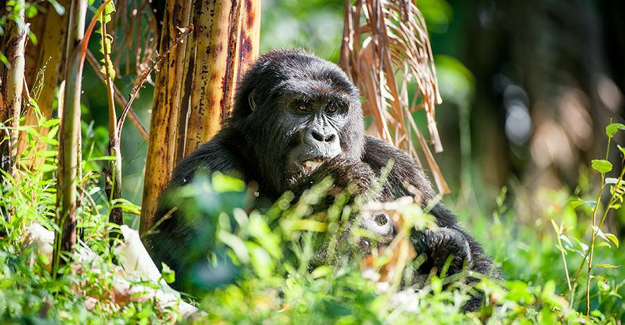 La población de gorilas de Ruanda es una de las mayores del mundo. Asegúrate de explorarla de forma segura con las vacunas de viaje y los consejos de Passport Health.