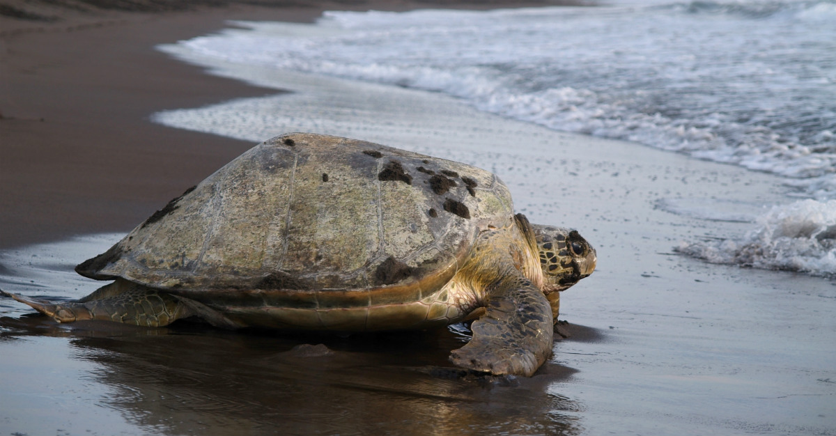 The sea turtles come out with regularity in the rainy season.