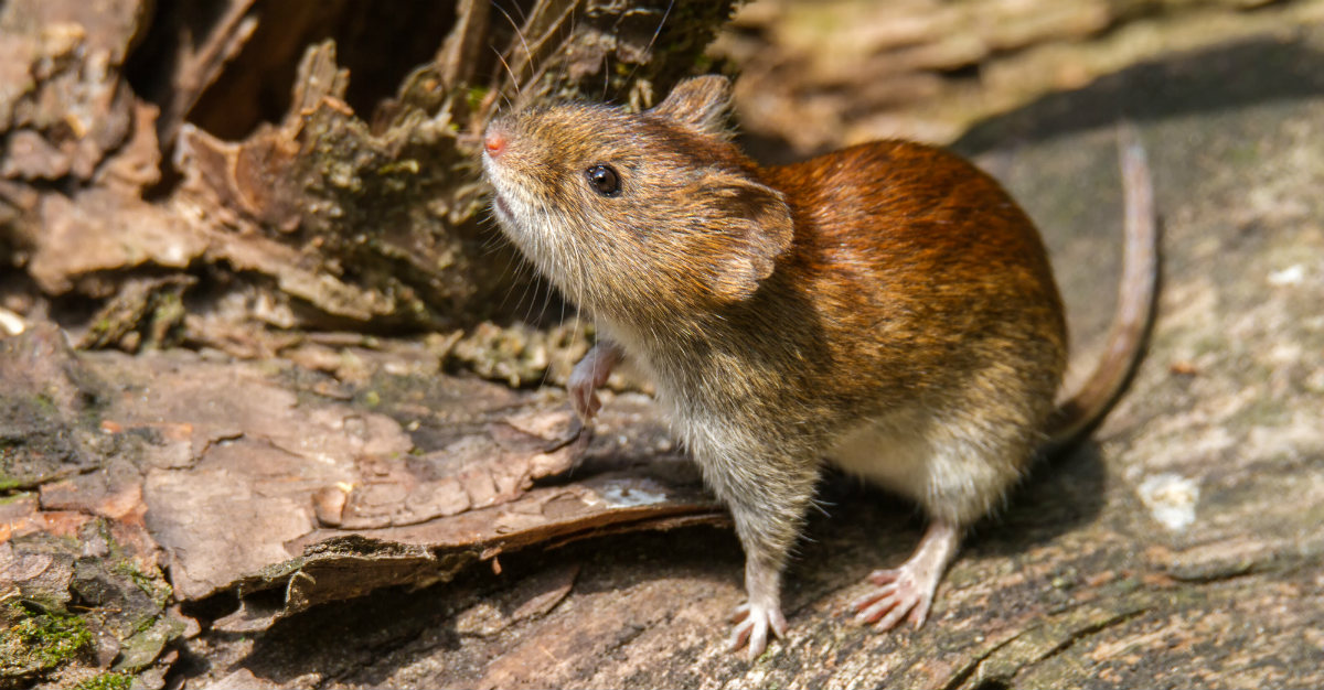 A deadly virus from rodents is slowly making its way across the United States.