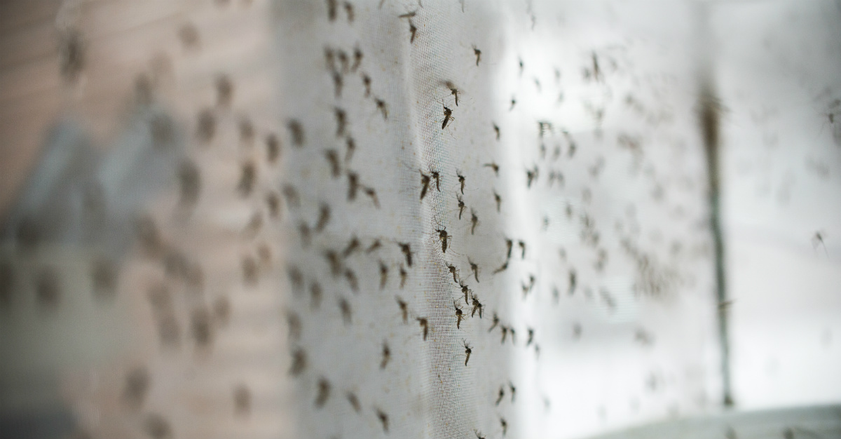 Modified mosquitoes have reduced dengue risks in Australia.