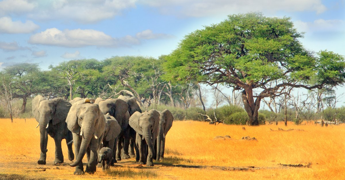 Elephants meet in the middle of Hwange National Park.