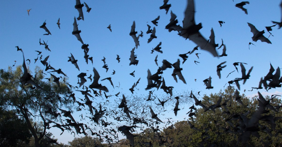 Scientists are still studying whether a Bat Flu could transmit to humans.