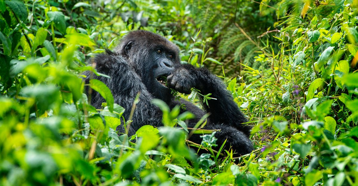 Millennia ago the malaria parasite only infected gorillas, not humans.