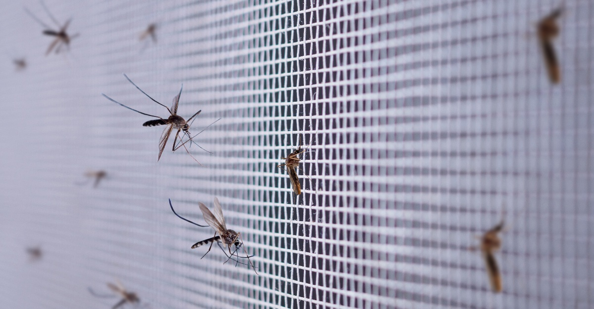 Mosquitoes have become resistant to the pesticides on some mosquito nets.